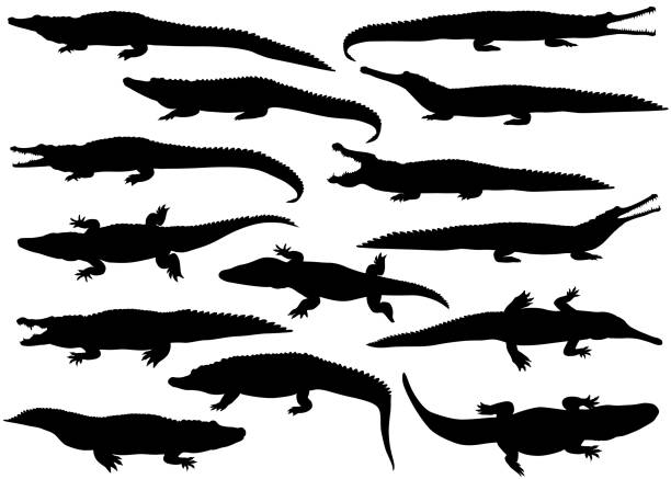 Crocodilians Collection of silhouettes of  different species of crocodiles crocodile stock illustrations