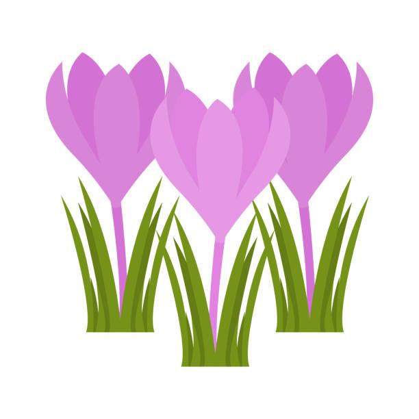 illustrations, cliparts, dessins animés et icônes de icône plate de fleur de crocus, fleurs sauvages, illustration de vecteur de plante d'isolement sur le fond blanc - crocus