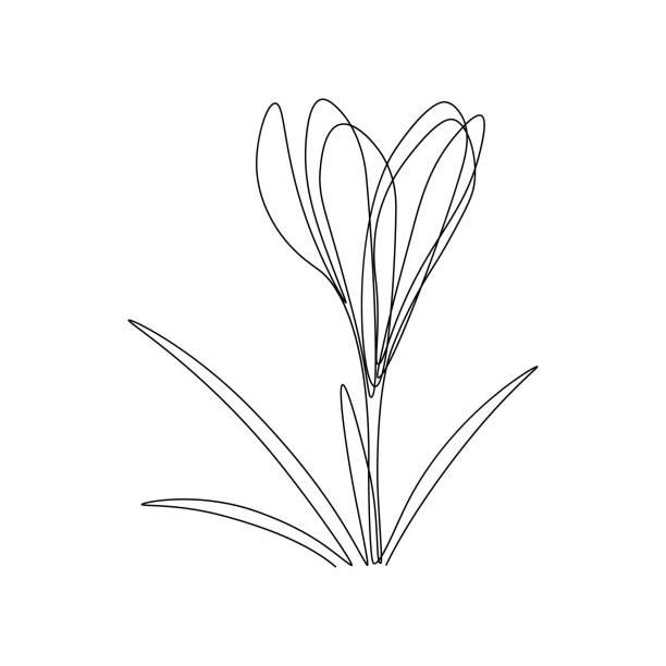 illustrations, cliparts, dessins animés et icônes de fleur de crocus - crocus