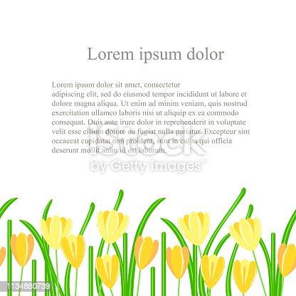 Crocus seamless background. Yellow spring flowers, green leaves on white background, Spring design, Lorem ipsum. Flat design element stock vector illustration for web, for print