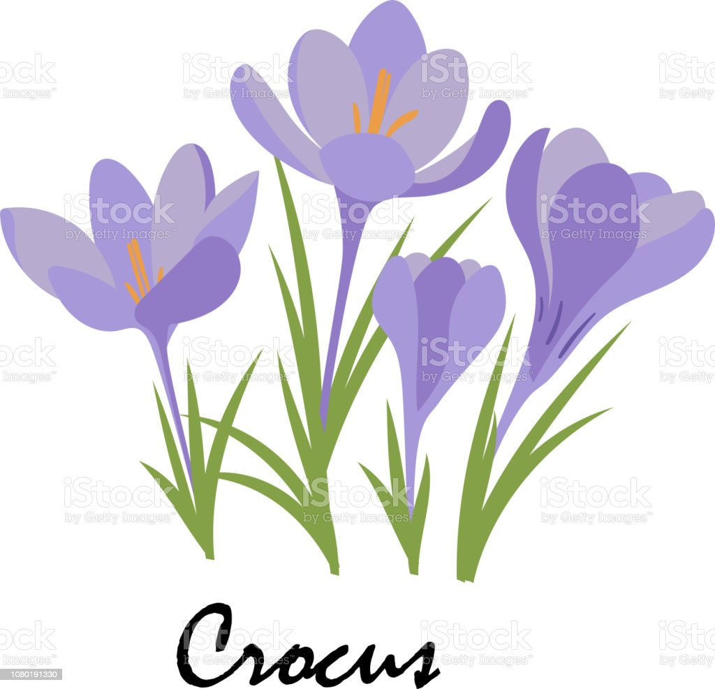 Crocus. Violet flowers on white background. Vector