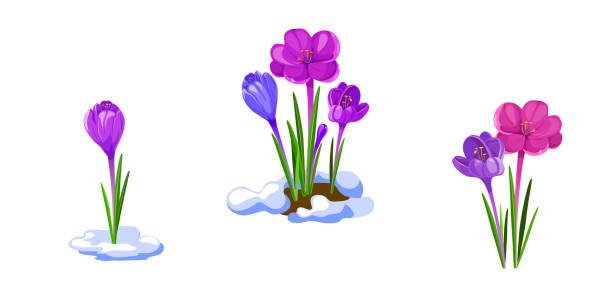 illustrations, cliparts, dessins animés et icônes de illustration de crocus. fleurs de printemps précoce isolés sur fond blanc. - crocus