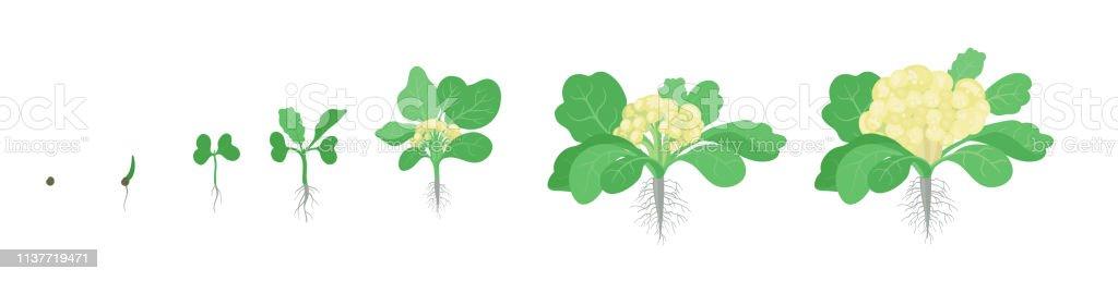 Crop Stages Of Cauliflower Cabbage Growing Cauliflower ...