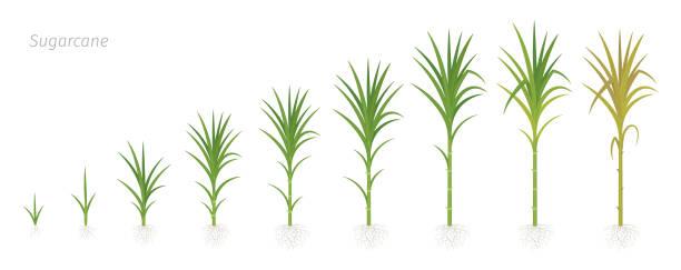 illustrazioni stock, clip art, cartoni animati e icone di tendenza di crop stages of sugarcane. growing sugar cane plant used for sugar production. vector illustration animation progression. - canna da zucchero