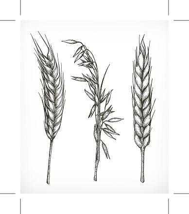Cultivo De Trigo Aveia Os Esquemas - Arte vetorial de stock e mais imagens de Agricultura