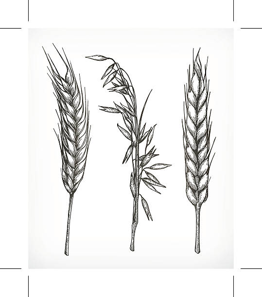 Crops, wheat and oat sketches Crops, wheat and oat sketches, hand drawing, vector set bread drawings stock illustrations