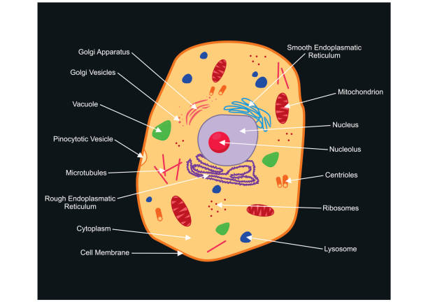 Best Cytoplasm Illustrations, Royalty-Free Vector Graphics ...