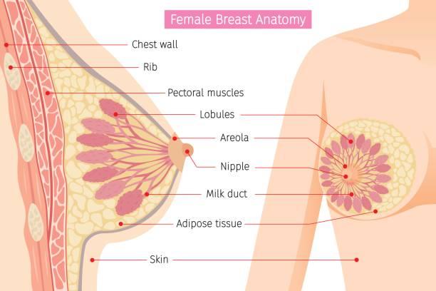 截面的女性乳房解剖 - 人體部分 幅插畫檔、美工圖案、卡通及圖標