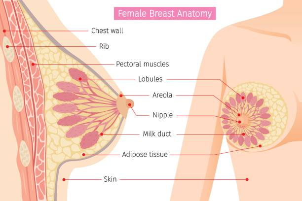 Cross Section Of Female Breast Anatomy Mammary, Boob, Body, Organs, Physical, Sickness, Health breast stock illustrations