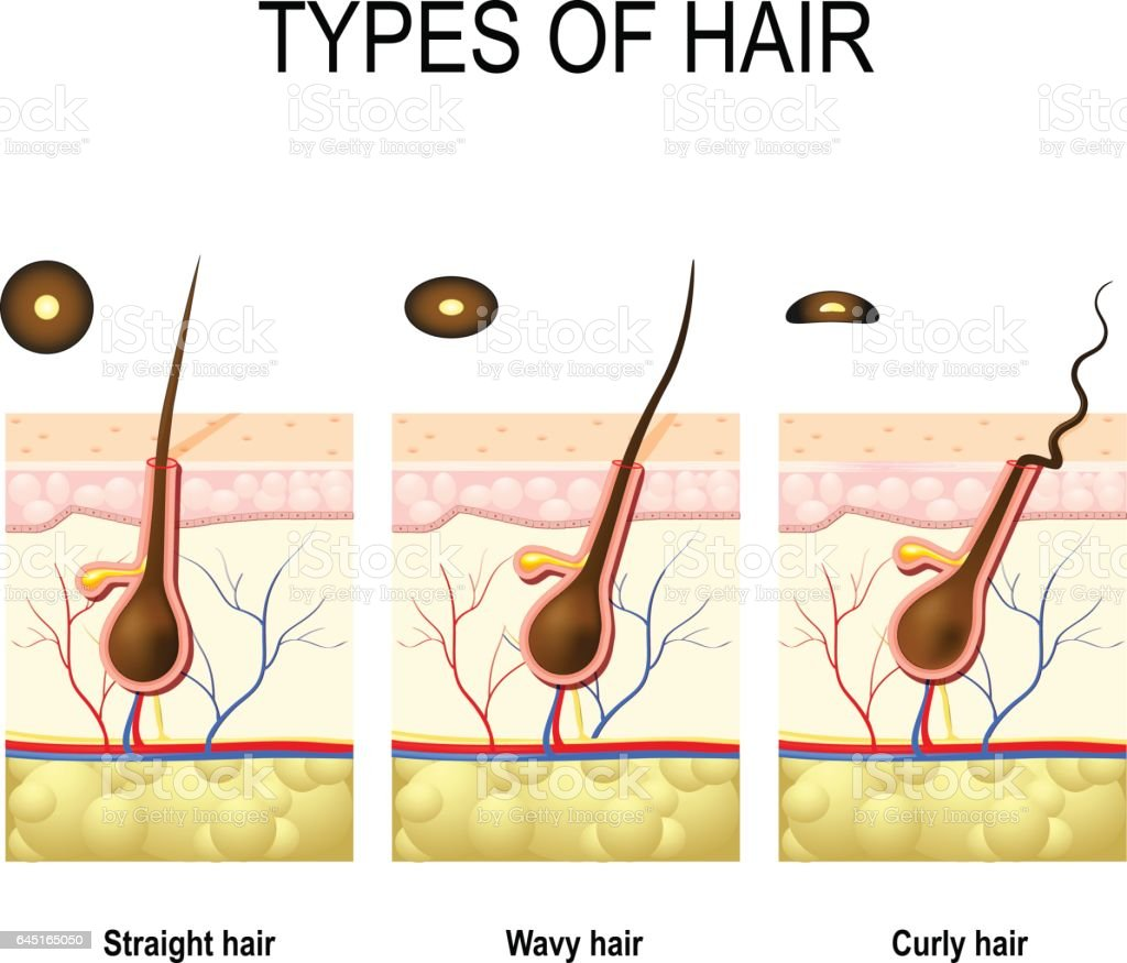 Cross section of human skin layers with hair stock vector art cross section of human skin layers with hair royalty free cross section of human skin pooptronica Choice Image