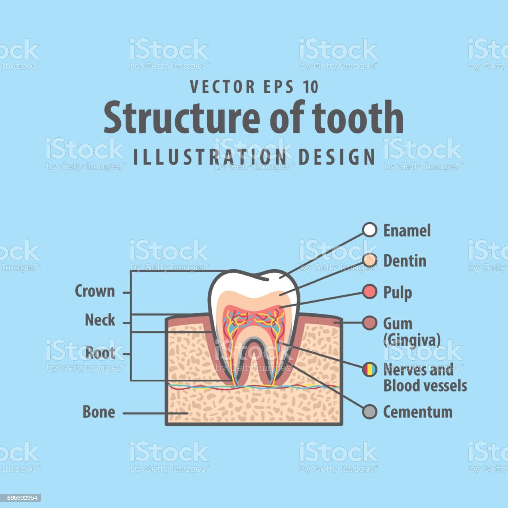Inside of tooth diagram trusted wiring diagrams crosssection structure inside tooth diagram and chart illustration rh istockphoto com identify teeth diagram blank tooth diagram ccuart Images