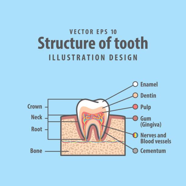 bildbanksillustrationer, clip art samt tecknat material och ikoner med tvärsnitt struktur inuti tanden diagram och diagram vektor illustration på blå bakgrund. dental koncept. - molar