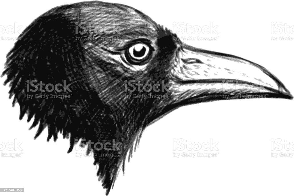 Ilustración de Cuervo Cabeza Aislada Sobre Fondo Blanco y más banco ...