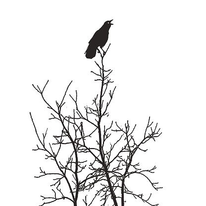 Crow perching in tree giving an alarm caw