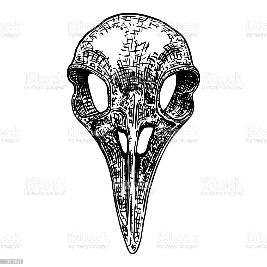 Crow skull. Hand drawn bird skull, line art sketch of raven animal...