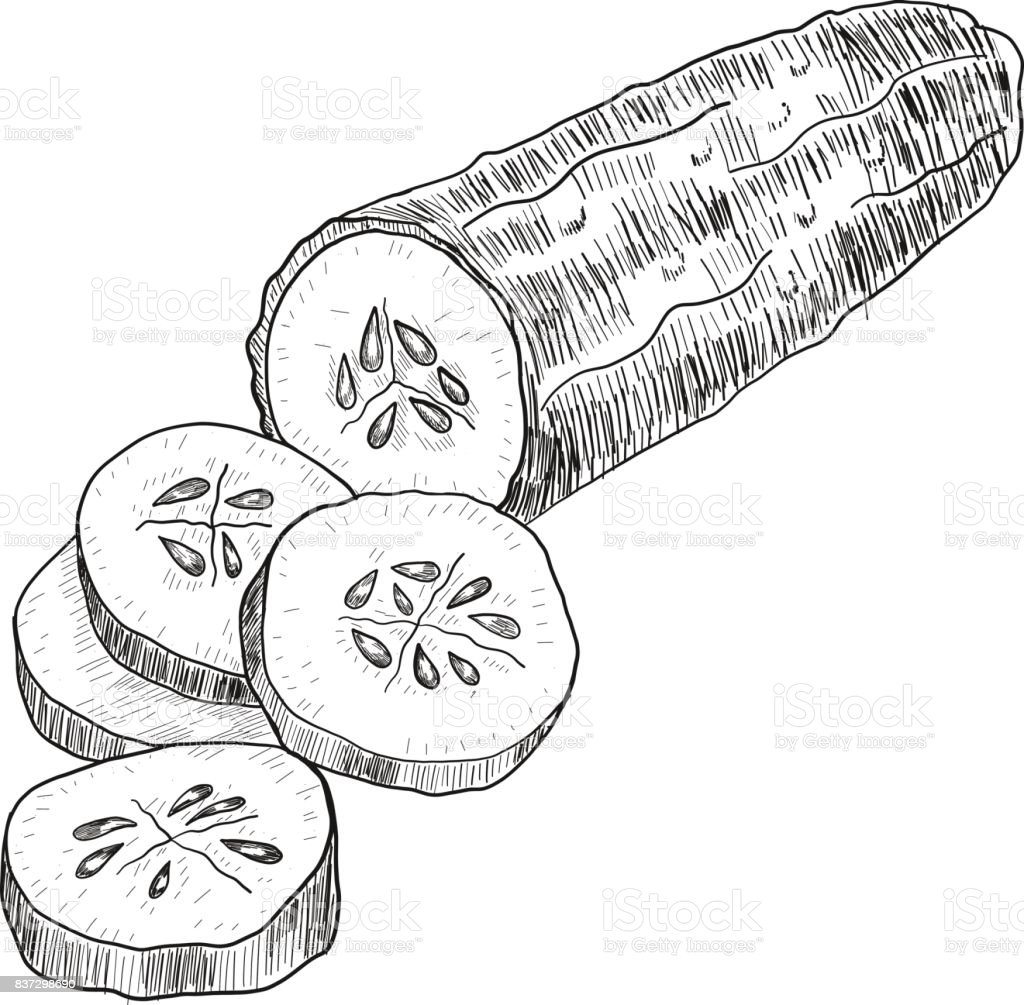 Cucumber Hand Drawn Vector Isolated Cucumber Vegetable Engraved ... for Drawing Cucumber  183qdu