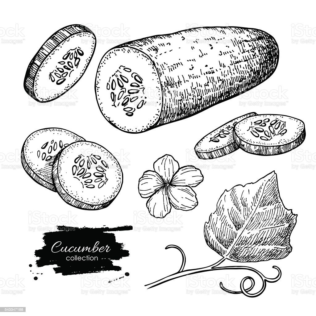 Cucumber hand drawn vector set. Isolated cucumber, sliced pieces vector art illustration