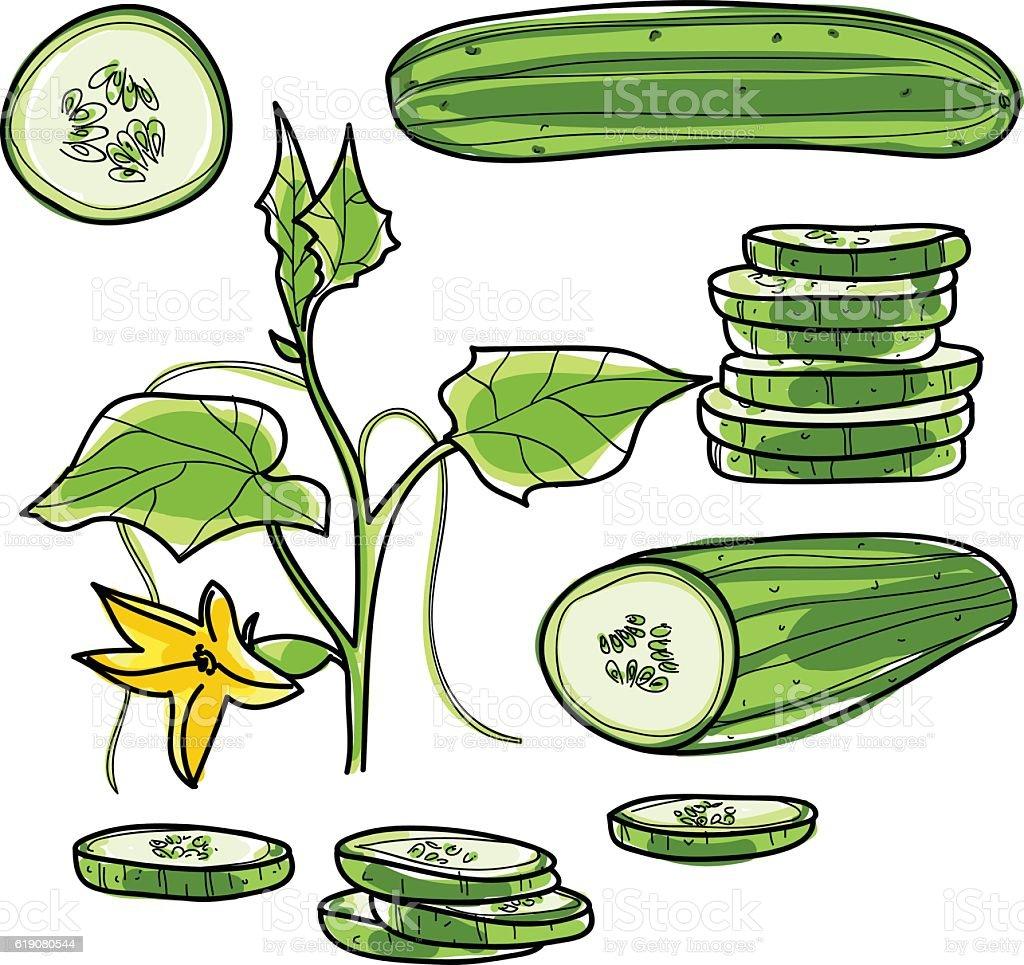 Cucumber hand drawn vector set Vegetable illustration drawing. vector art illustration