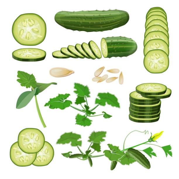 Cucumber set vector. Cucumber set: seeds, sprout, vine, flower, plant, fruits and cut pieces. Vector illustration isolated on white background pickle slice stock illustrations