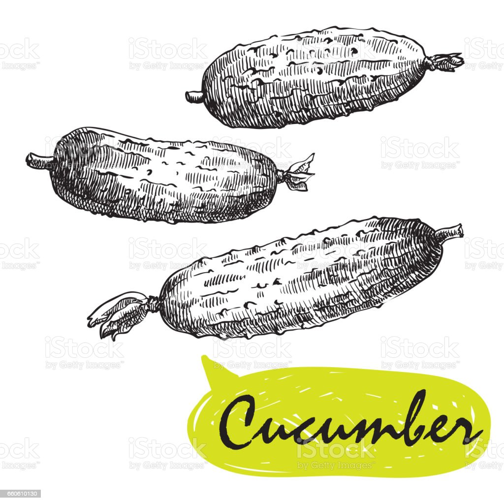 cucumber sketches. harvesting royalty-free cucumber sketches harvesting stock vector art & more images of agriculture