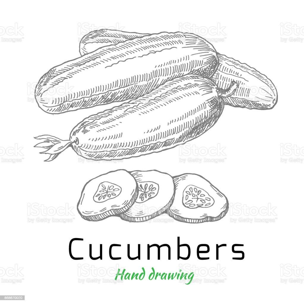 Cucumbers, vector hand drawing vector art illustration