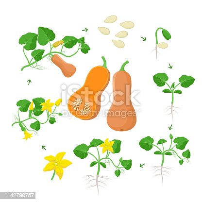 Cucurbita moschataplant growth stages infographic elements in flat design. Planting process of Butternut squash from seeds, sprout to ripe pumpkin fruit, life cycle isolated on white background.