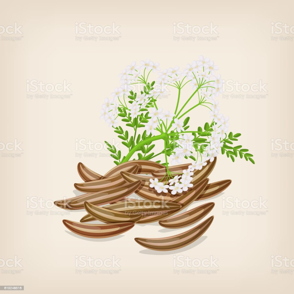 Cumin seed with flowers and leaves. Vector illustration. vector art illustration