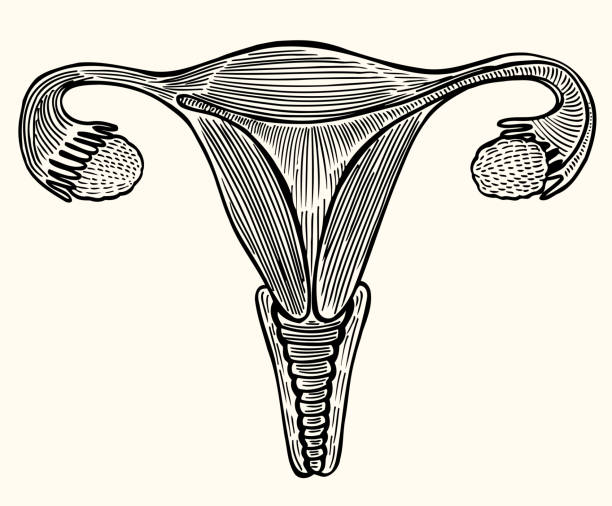 Cup internal genitals of women Medical illustration, internal sex organs of a woman, uterus, ovaries, folopytic tubes, drawn in the style of engraving. Vector on beige background uterus stock illustrations