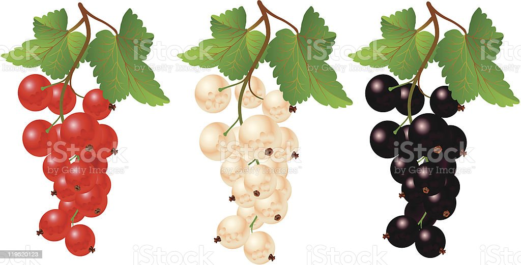 Currant red, black and white vector art illustration