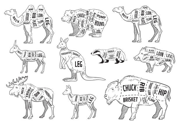 Cut of animal set. Poster Butcher diagram - wild animal. Vintage typographic hand-drawn. Cut of animal set. Poster Butcher diagram - wild animal. Vintage typographic hand-drawn. Vector illustration vertebrate stock illustrations
