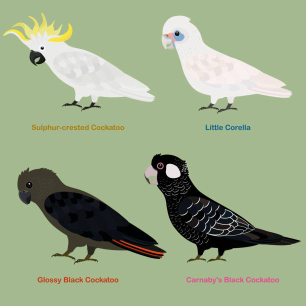 Cute Australia Cockatoo, parrot bird vector illustration set, Sulphur-crested Cockatoo, Little Corella, Glossy Black Cockatoo, Carnaby's (Short-billed) Black Cockatoo vector art illustration