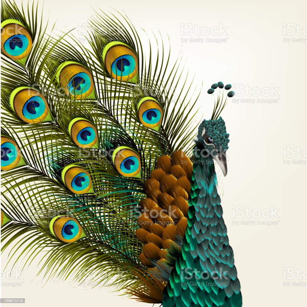 Cute Background With Vector Detailed Peacock On White For Design Royalty Free