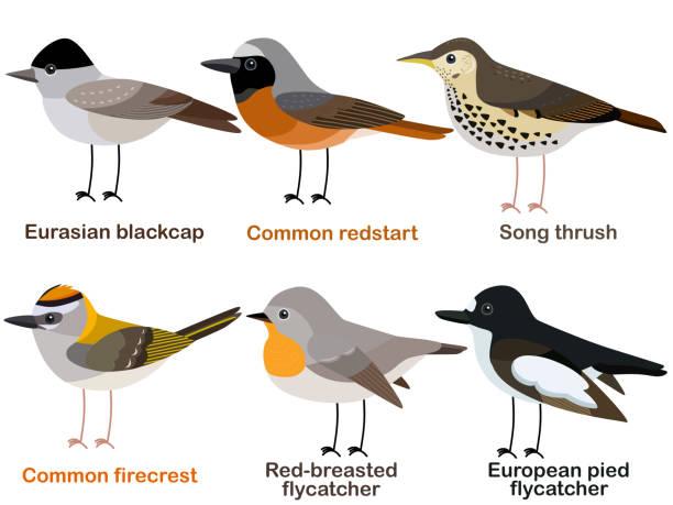 ilustrações de stock, clip art, desenhos animados e ícones de cute bird vector illustration set, blackcap, redstart, song thrush, firecrest, flycatcher - song thrush