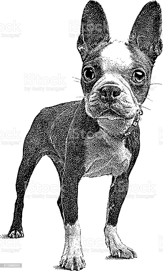 Cute Boston Terrier Puppy vector art illustration
