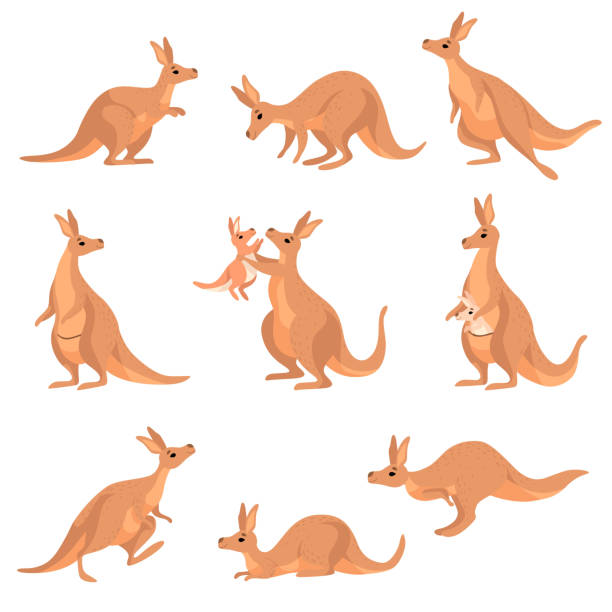 Cute Brown Kangaroo Set, Wallaby Australian Animal Character in Different Poses Vector Illustration Cute Brown Kangaroo Set, Wallaby Australian Animal Character in Different Poses Vector Illustration on White Background. kangaroo stock illustrations
