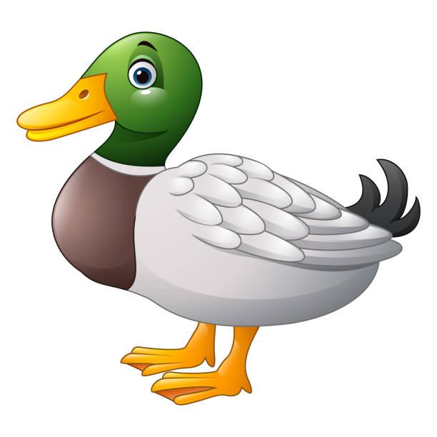 Mallard Duck Illustrations, Royalty-Free Vector Graphics ...