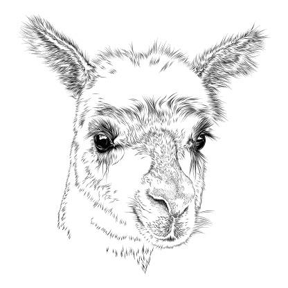 Cute Face of an Alpaca or Llama, Vector Drawing