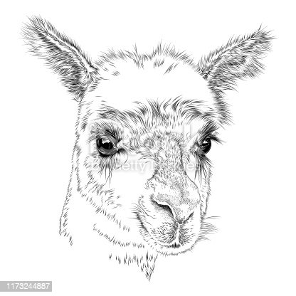 Cute Face of an Alpaca or Llama, Vector Drawing