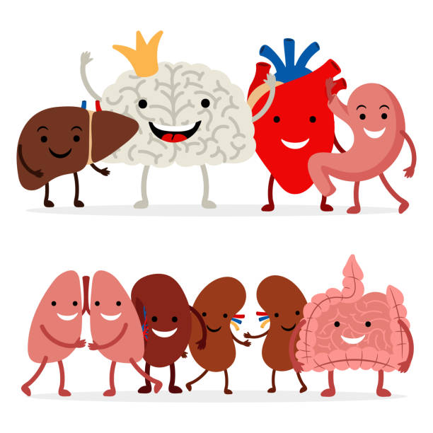 Cute human internal organs vector isolated on white background Cute human internal organs vector isolated on white background. Illustration of medical organ, internal human human internal organ stock illustrations