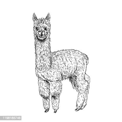 Cute llama, alpaca, ink sketch, hand drawn