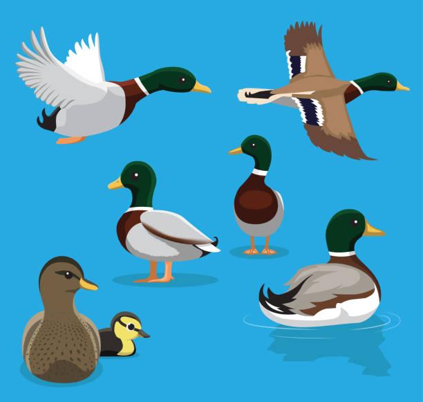 Cute Mallard Poses Flying Cartoon Vector Illustration Animal Character EPS10 File Format duck bird stock illustrations