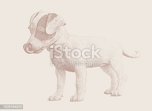 Engraving illustration of a Cute puppy. Basenji and Jack Russell Terrier mixed breed dog.