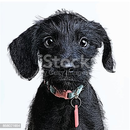 istock Cute Puppy waiting to be adopted. Miniature Schnauzer, mixed-breed dog. 858021654