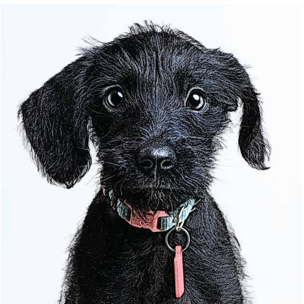 Cute Puppy waiting to be adopted. Miniature Schnauzer, mixed-breed dog. Mezzotint illustration of a cute puppy waiting to be adopted. Miniature Schnauzer, mixed-breed dog. animal shelter stock illustrations