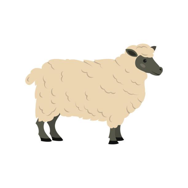 stockillustraties, clipart, cartoons en iconen met schattige schapen op witte achtergrond. - schaap