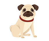 Cute small friendly pug dog cartoon domestic animal design flat vector illustration isolated on white background.