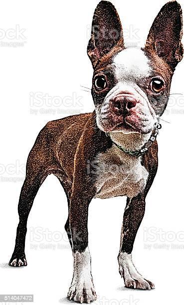 Cute young boston terrier vector id514047472?b=1&k=6&m=514047472&s=612x612&h=yapvrs0utbrgt5u3jtwnbbmv8irtebzqz1troaw5m6e=
