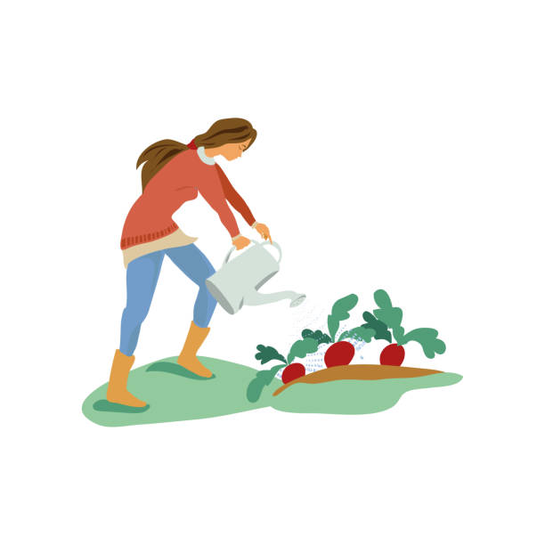 Cute young girl is use watering can to wet radish Cute young girl is use watering can to wet garden eco radish. Cartoon style. Vector illustration on white background crucifers stock illustrations