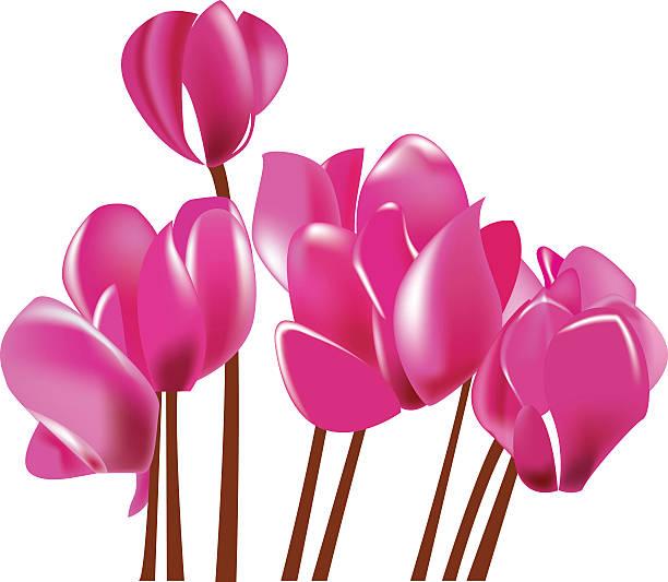 alpenveilchen blühenden rosa blume, vektor-illustration - alpenveilchen stock-grafiken, -clipart, -cartoons und -symbole