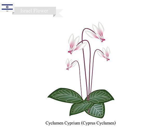 cyclamen cyprium, the national flower of israel - alpenveilchen stock-grafiken, -clipart, -cartoons und -symbole